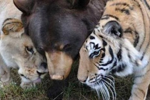 How An Abused Lion, Tiger And Bear Became An Unlikely Family