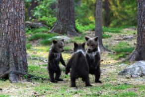 """Dancing"" Bear Cubs"