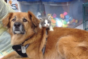 Meet Boots, A Dog That Is Now A Nanny For Orphaned Kittens