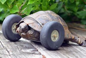 Tortoise Whose Legs Were Eaten By Rats Gets Prosthetic Wheels