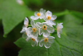 """Skeleton Flowers"" Become Transparent When It Rains"