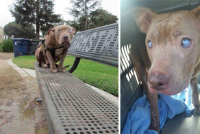 Blind Pitbull Abandoned On Park Bench After Giving Birth Gets The Love She Deserves