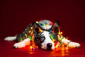 I Took Christmas-Themed Dog Portraits To Wish You Happy Holidays