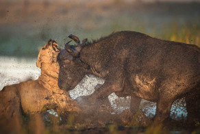 The hunter becomes the hunted as buffalo KILLS lion in vicious fight