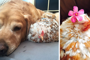 Chicken Born Without Eyes Cuddles With Other Pets, Because Her Owner Refused To Put Her Down