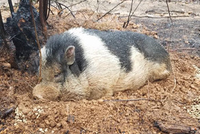 Family Devastated After Finding Their Home Destroyed By Wildfire, But Then See Their Pet Pig Waiting