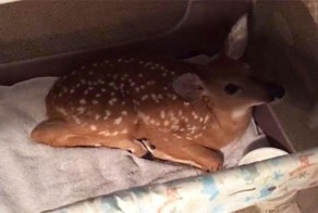 Good Dog Saves A Baby Deer From Drowning
