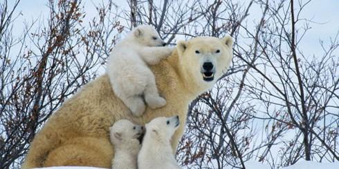 Полярные медведи выходят из берлог после зимовки (14 фото)