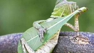 Dragon Lizard Caught Playing Leaf Guitar