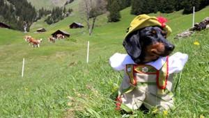 Meet Crusoe The Celebrity Dachshund