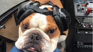 This Vancouver Bulldog Is Living The Life You Only Wish You Were
