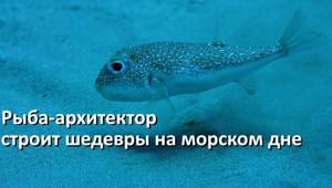 Самцы рыбы-архитектора (бело-пятнистого иглобрюха) строят настоящие шедевры на морском дне