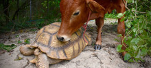 Giant Tortoise And Baby Cow Who Lost Its Leg Become Best Friends